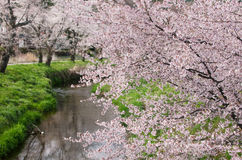 Cherry blossom tree. Japanese cherry blossom tree along canal royalty free stock images
