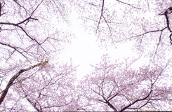 Cherry blossom tree. Japanese Pink Sakura cherry blossom tree stock photography