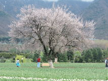 Cherry Blossom tree in Kashmir garden. Cherry Blossom tree at its full bloom in the Tulip garden at Kashmir. Huge snow clad Himalayan mountains in the background royalty free stock photo