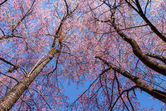 Cherry blossom tree with leafless branches. Sakura , cherry blossom, tree with leafless branches against blue sky stock photo