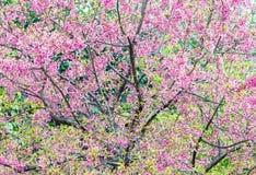 Cherry blossom tree Royalty Free Stock Photos