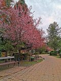 Cherry blossom tree on park alley royalty free stock images