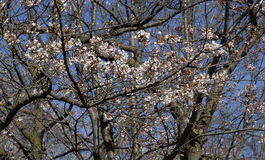 Cherry blossom tree in the park Stock Photography