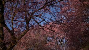 Cherry blossom tree at park in spring.  stock footage