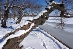 Cherry Blossom Tree pendendo sobre no inverno imagens de stock