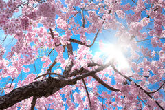 Cherry blossom tree. Pink cherry blossom tree blooming with sunlight beam stock image