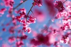 Cherry blossom tree. Sakura , cherry blossom, tree against blue sky with selective focus royalty free stock photography