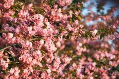 Cherry blossom tree. Royalty Free Stock Image