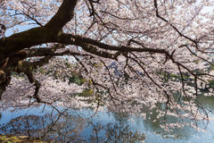 Cherry-blossom tree in Shinjuku Gyoen,Tokyo. The giant Cherry-blossom tree in Shinjuku Gyoen national garden. This park is a very famous and popular Cherry Stock Image