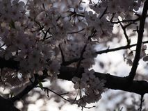 Cherry Blossom Tree Stock Photography