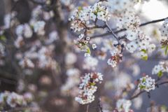 Cherry blossom tree. In spring stock photos