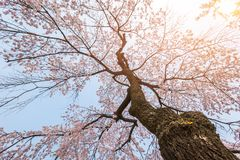 Cherry blossom tree in spring for background or copy space for t. Ext royalty free stock images