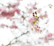 Cherry blossom tree. In the spring with its gorgeous flowers, bokeh background royalty free stock images