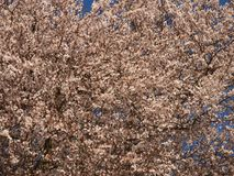 Cherry Blossom on a tree in Spring Royalty Free Stock Photos