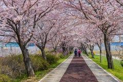 Cherry blossom tree Stock Image
