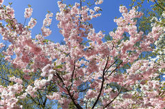 Cherry blossom tree in spring. Cherry blossom tree during springtime stock photography