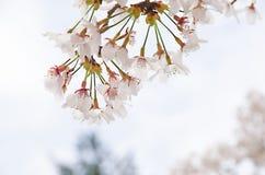 Cherry blossom tree. Sweet Japanese cherry blossom tree Stock Photography