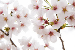 Cherry blossom tree. Sweet Japanese Cherry blossom tree on white background Royalty Free Stock Photos