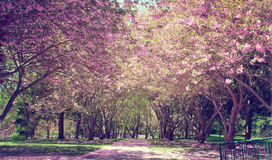 Cherry Blossom Tree. Toned picture of Cherry Blossom Tree-lined drive stock photography