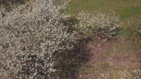 Cherry Blossom Tree arkivfilmer