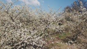 Cherry Blossom Tree lager videofilmer