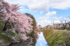 Cherry blossom tree and trains in Japan with light for backgroun Stock Image