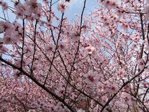 Cherry Blossom,Spring Time royalty free stock photography