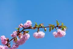 Cherry blossom on tree Stock Photo