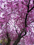 Cherry Blossom Tree watercolor Stock Images
