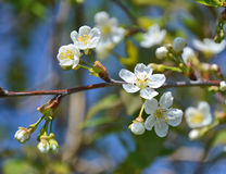 Cherry blossom tree Stock Photos