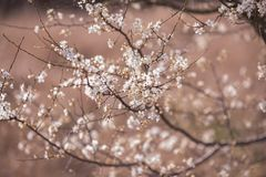 Cherry blossom tree with white flower. Spring background.  royalty free stock photos