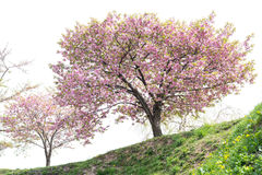 Cherry blossom tree with white sky background. Blossoming pink Sakura or Cherry blossom tree Royalty Free Stock Photography