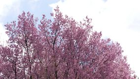 Cherry blossom tree in the wind and moving clouds on blue sky stock video footage