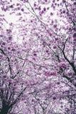 Cherry Blossom Trees Stock Photography