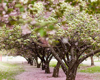 Cherry Blossom Trees. Cherry trees in blossom in an city park in America on a windy day Stock Images