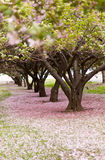 Cherry Blossom Trees. Cherry trees in blossom in an city park in America on a windy day Royalty Free Stock Photography