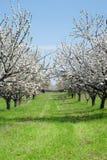 Cherry blossom trees Royalty Free Stock Photography