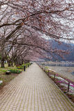 Cherry blossom trees along the pathway in spring,  Royalty Free Stock Images