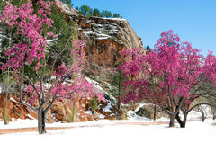 Free Cherry Blossom Trees At Red Rock Canyon Open Space Colorado Springs Royalty Free Stock Photo - 96091715