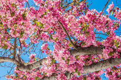 Free Cherry Blossom Trees At Red Rock Canyon Open Space Colorado Springs Royalty Free Stock Photography - 98513847