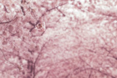 Cherry blossom trees Stock Images