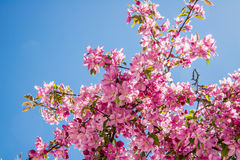 Cherry blossom trees and blue sky. Cherry blossom trees petals flowers against a spring summer daytime blue sky Royalty Free Stock Image