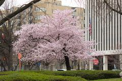 Cherry Blossom Trees, bourgeons, feuilles Photos stock