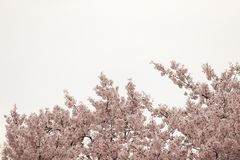 Cherry Blossom Trees, bourgeons, feuilles Images stock
