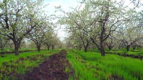Cherry Blossom Trees. Camera Flight Through Cherry Blossom Trees stock video