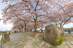 Cherry Blossom Trees com as grandes rochas na mola Foto de Stock Royalty Free