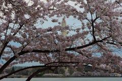 Cherry blossom trees at edge of tidal basin Washington DC royalty free stock image