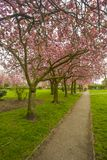 Cherry Blossom Trees in England. Beautiful spring cherry blossom trees in full bloom in England, imagine yourself walking down this path Royalty Free Stock Photography