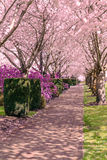 Cherry Blossom Trees in full bloom Royalty Free Stock Photo