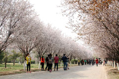 Cherry blossom. Cherry trees are in full blooms. visitors viewing and admiring it. zhengzhou. china stock photos